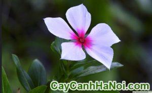 hoa dừa cạn-loài hoa của thi cử