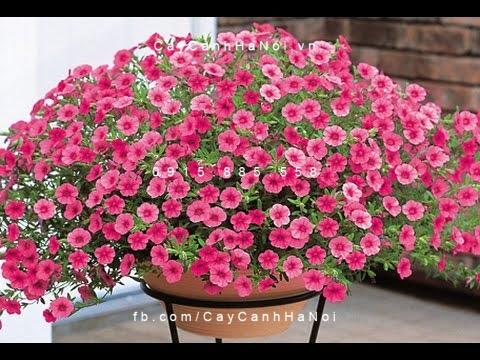 hoa triệu chuông-loài hoa của thanh xuân tuổi trẻ