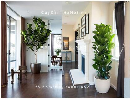 Cây Bàng Singapore- loài cây của sự giàu sang