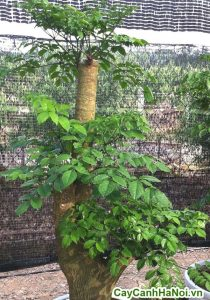 Cây hạnh phúc- loài cây của mái ấm gia đình