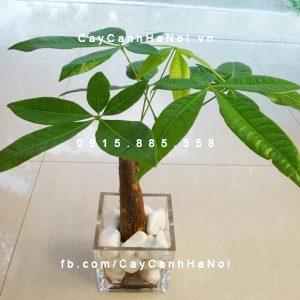 cây để bàn-cây cảnh hà nội