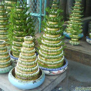 Cây phát lộc-loài cây gặt hái tài lộc