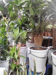 Cây phát tài-loài cây mang đến sự an lành