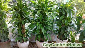 Cây thiết mộc lan-loài cây mang vẻ đẹp đơn điệu