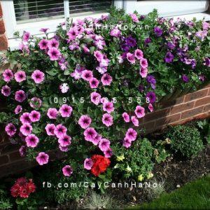 hoa dạ yến thảo-loài hoa của sắc đẹp